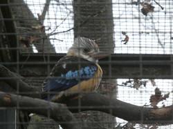 Blauflügel-Kookaburra