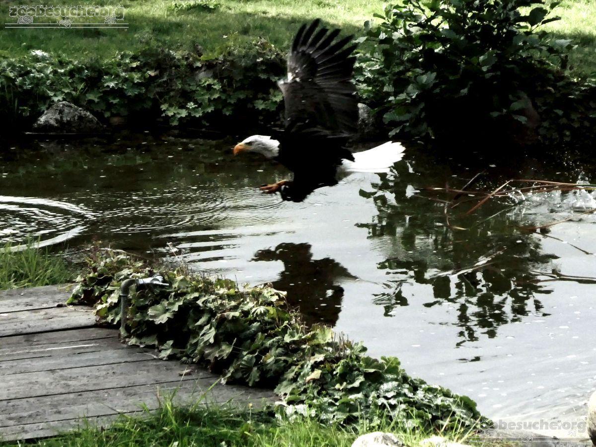 Weißkopfseeadler  (4)