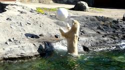 Eisbär  (44)