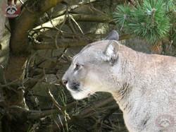 Puma (21)