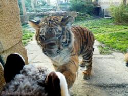 Wuschel mit Tiger Jungtier  (17)