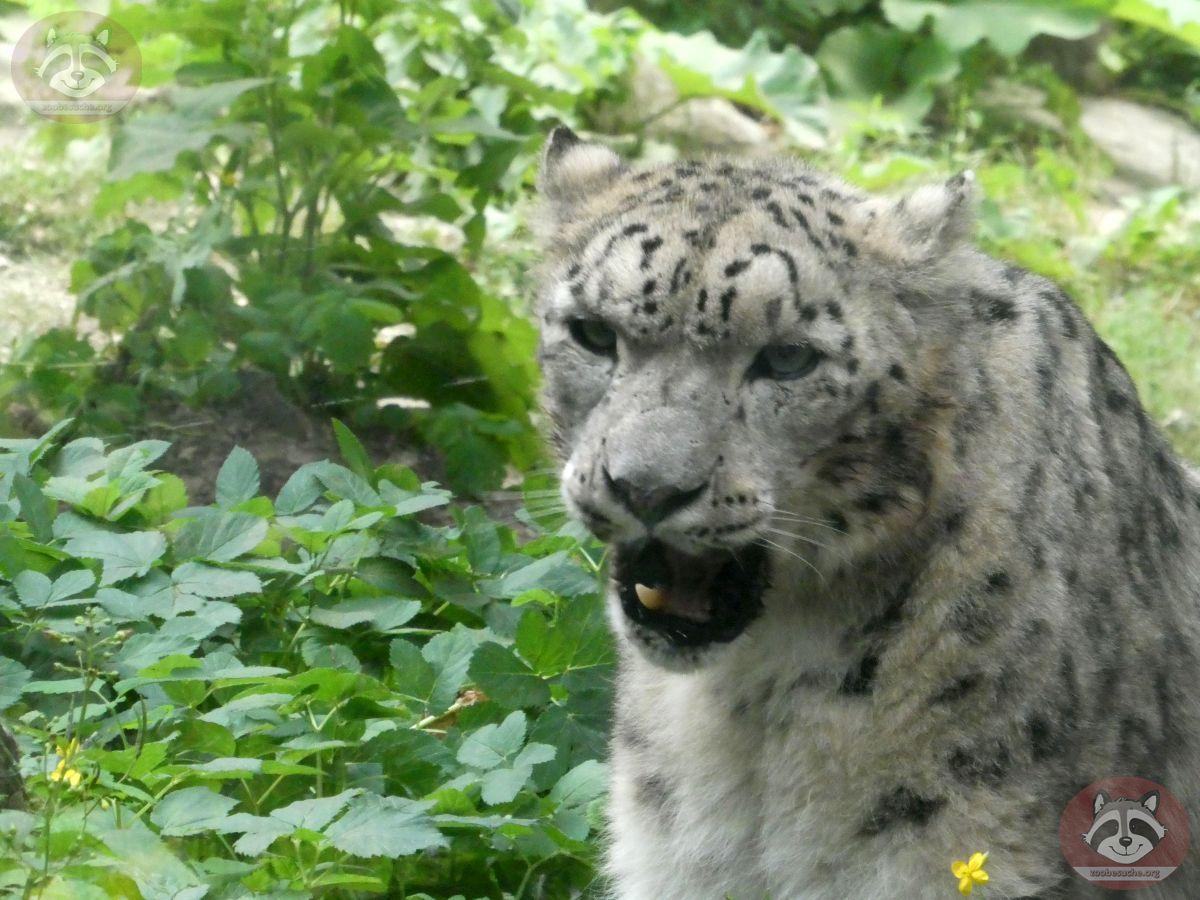 Schneeleopard  (5)
