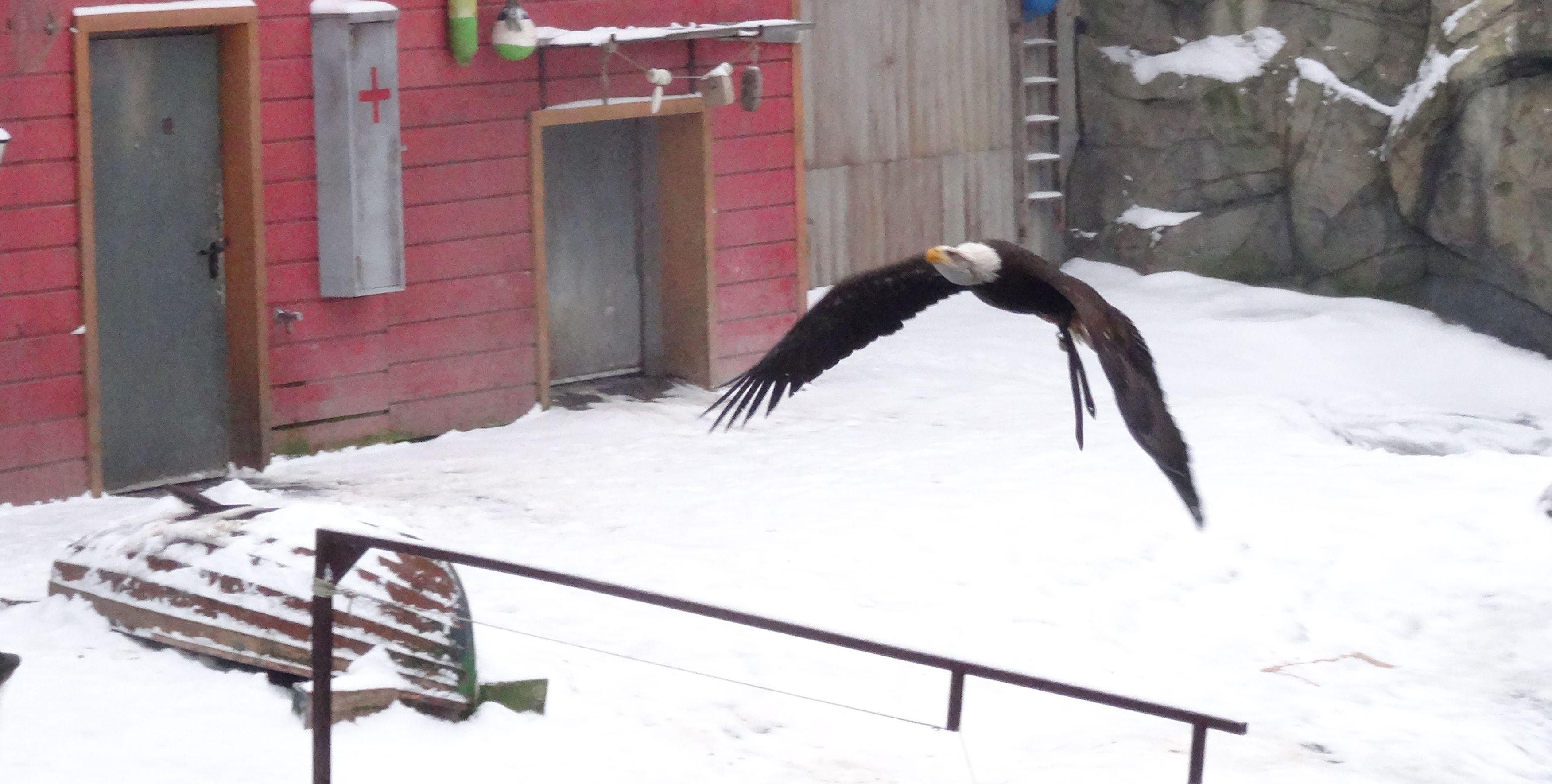 Seeadler  (5)