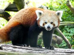 Roter Panda  (5)
