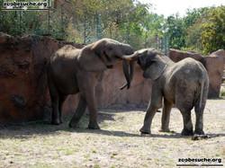 Afrikanische Elefanten  (7)