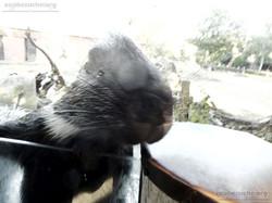 Stachelschwein  (7)