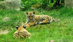 Tiger Jungtiere  (10)