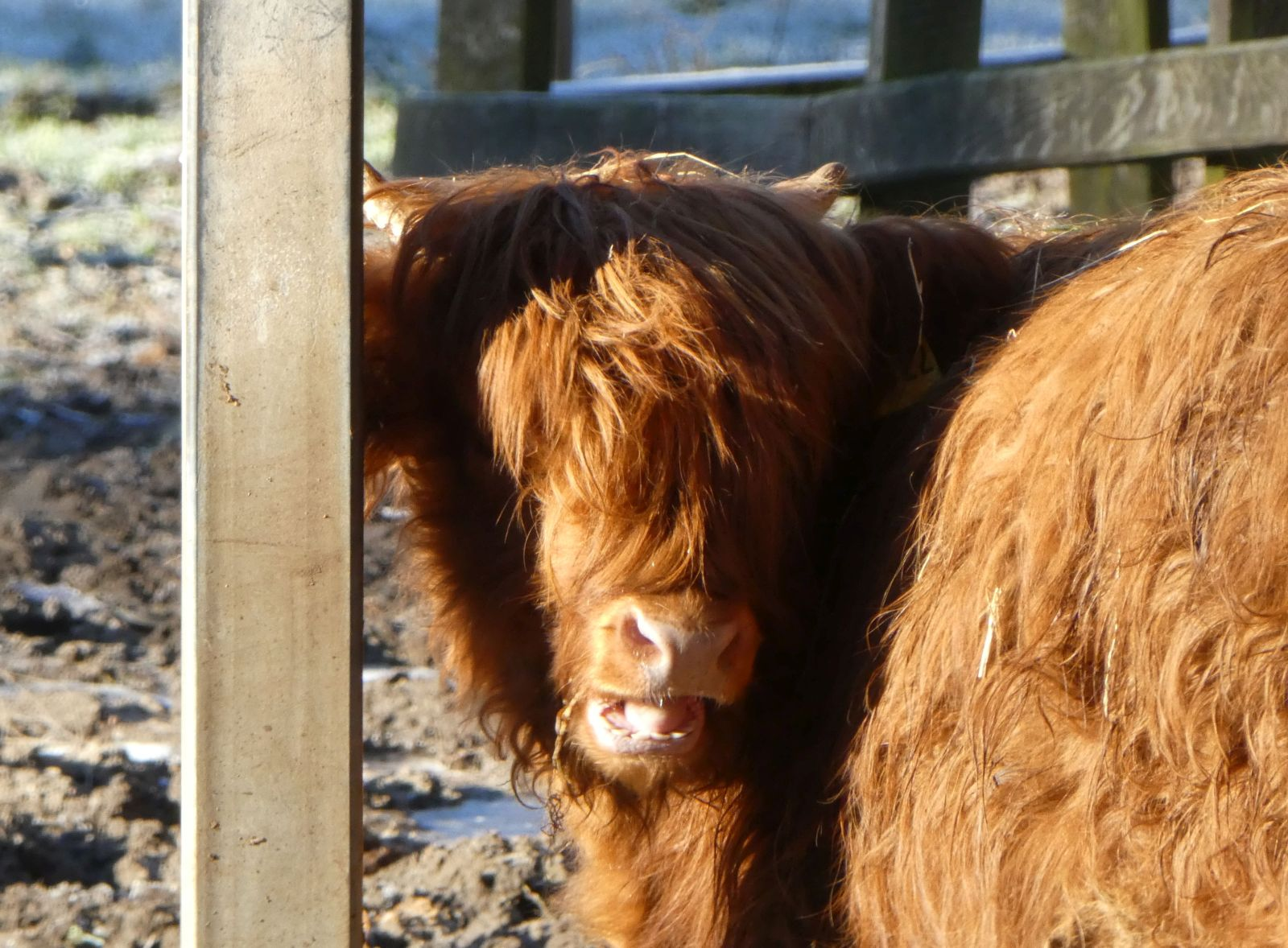 Highland Rind  (3)