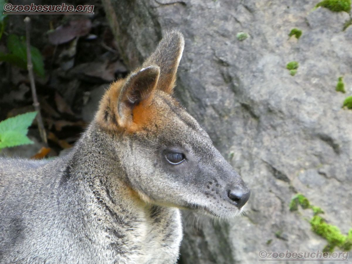 Sumpfwallaby  (2)