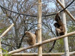 Gibbon  (11)