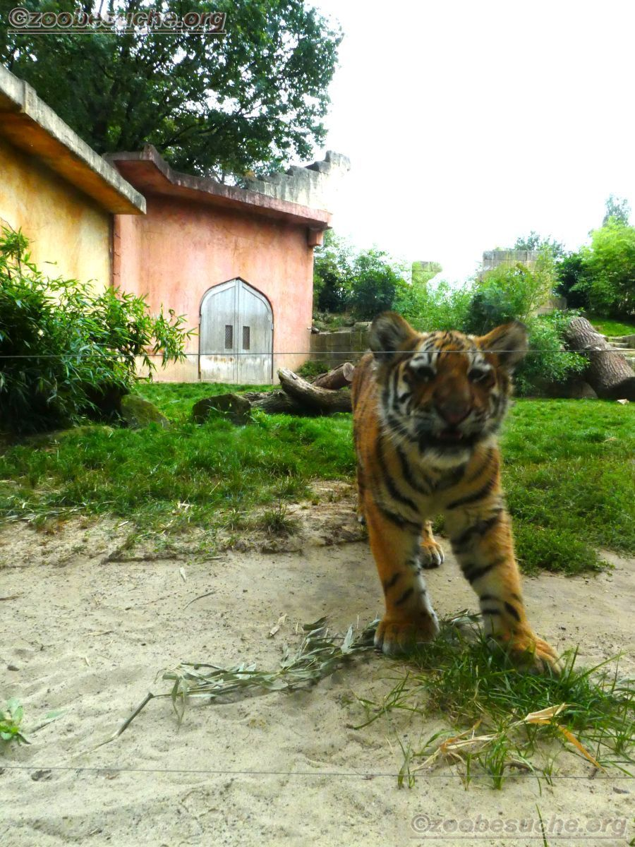 Tiger Jungtier Jaro  (1)