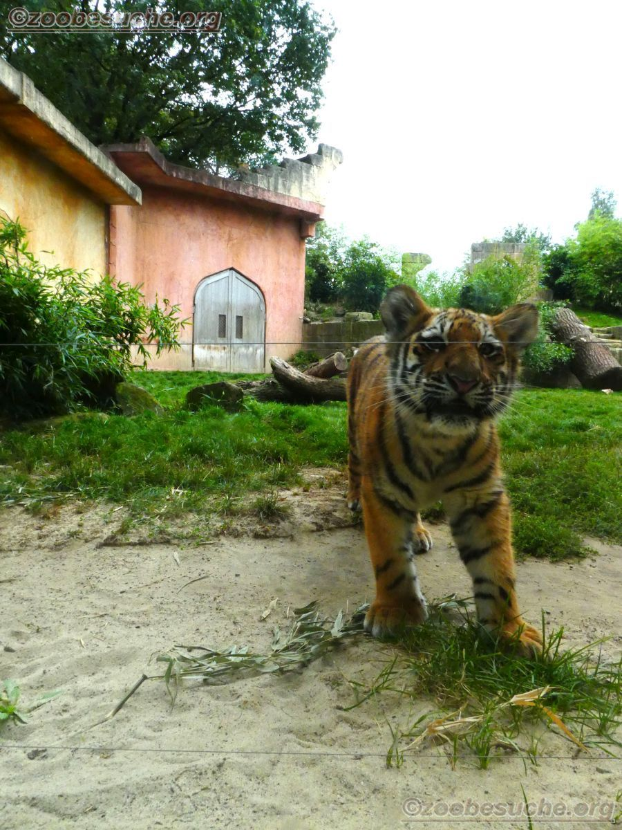 Tiger Jungtier Jaro  (2)