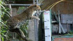 Leopard Julius  (12)
