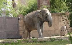 Elefantenkuh Trinh