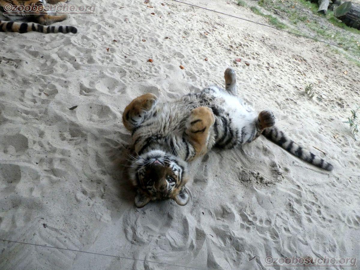 Tiger Jungtier  (18)