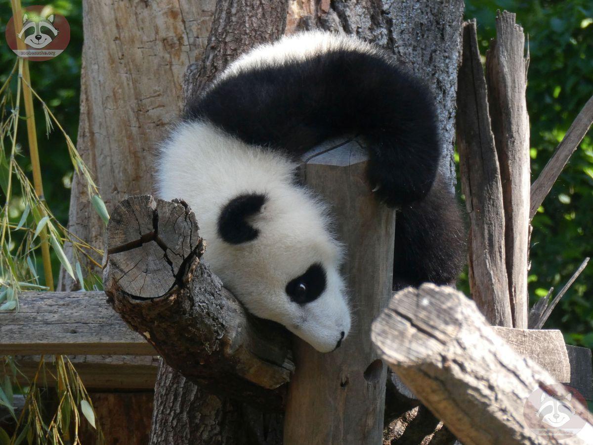 Panda Jungtier  (9)