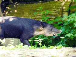 Mittelamerikanischer Tapir  (11)