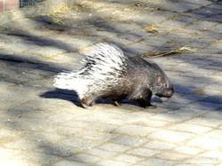 Stachelschwein  (11)
