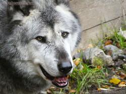Timberwolf  (5)