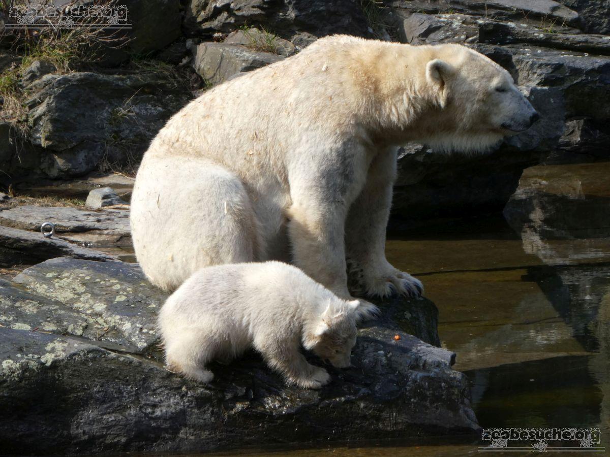 Eisbär  (101)