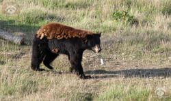 Schwarzbär (1)