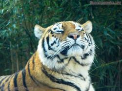 Tigerin Alexa  (3)