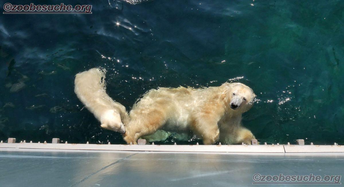 Eisbär  (50)