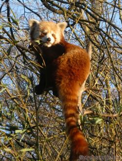 Roter Panda  (9)