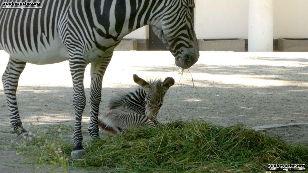 Zebra  (151)