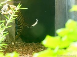 Tiger  (21)
