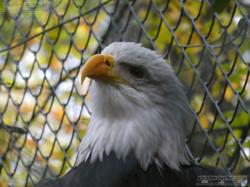 Weißkopfseeadler  (3)