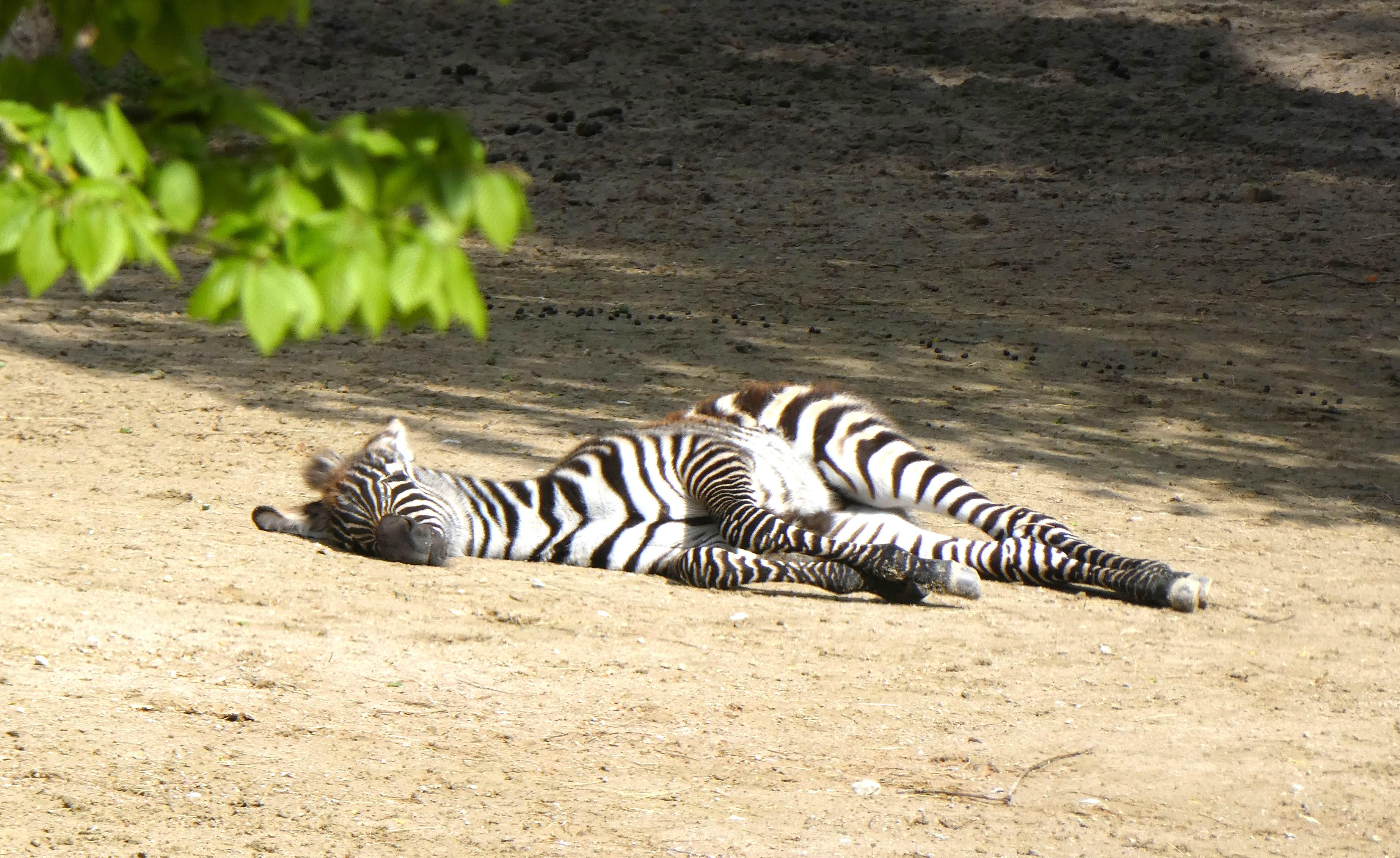 Zebra  (9)
