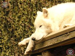 Polarwolf (7)