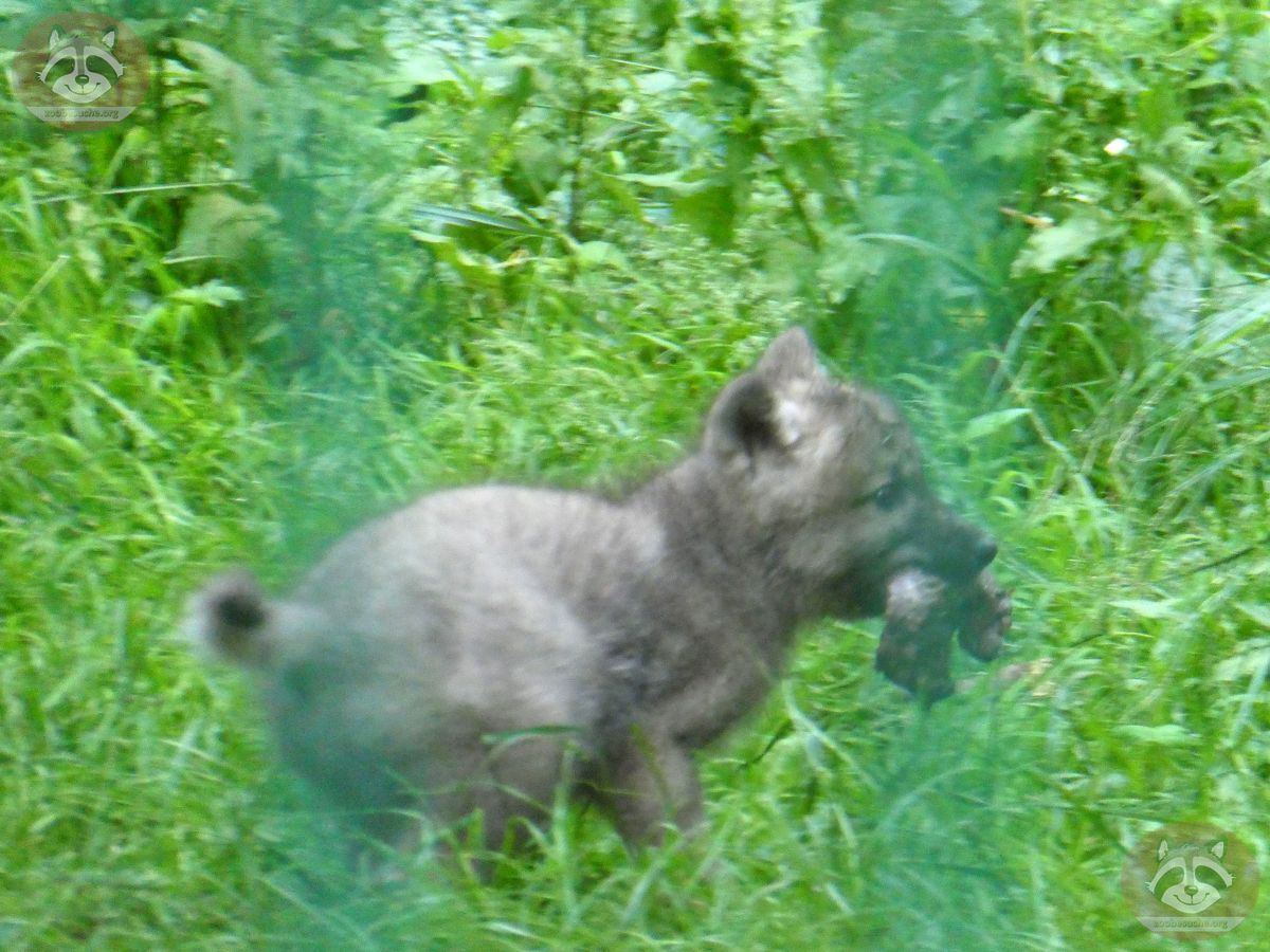 Polarwolf  (15)