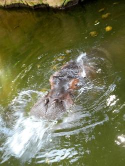 Flusspferd (13)