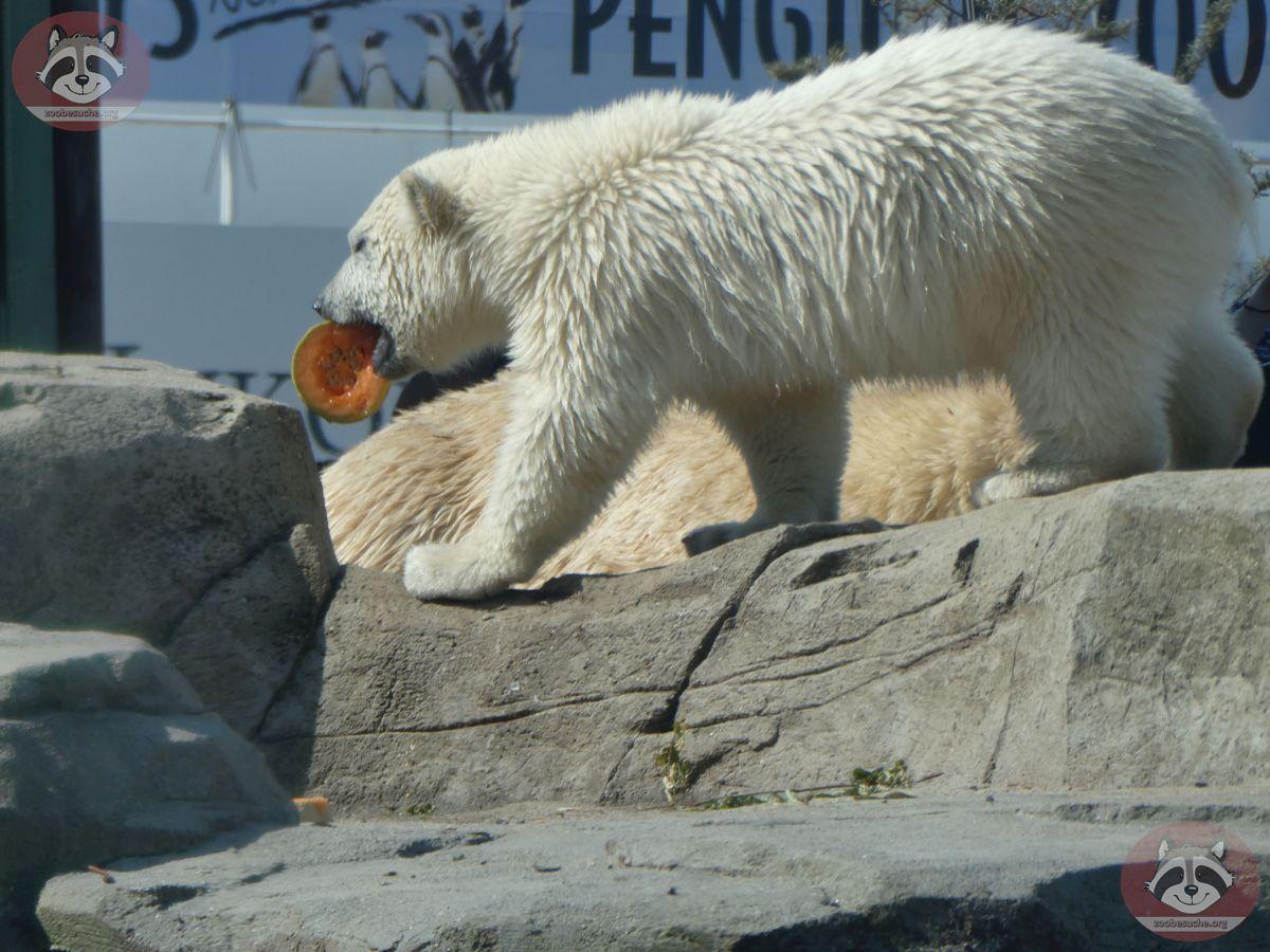 Eisbären_Milana_und_Nana_(29)