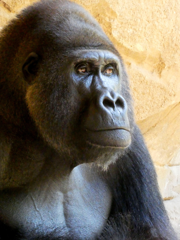 Gorilla  (17)