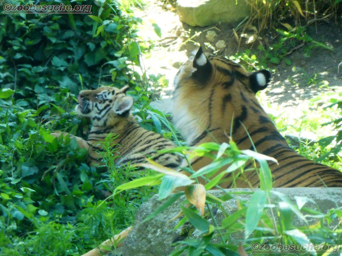 Tiger (51)