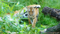 Tigerin Alexa mit jungtier  (7)