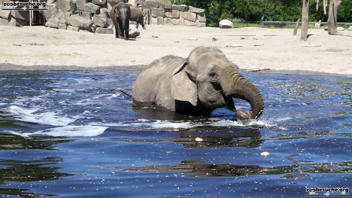 Asiatischer Elefant  (65)