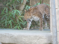 Leopard  (15)