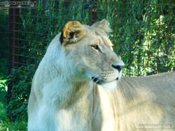 Löwen  (5)