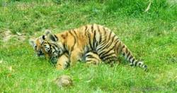 Tiger Jungtiere  (48)