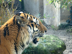 Tiger Aljoscha  (11)