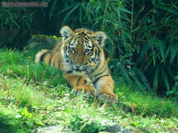 Tigerjungtiere  (1)