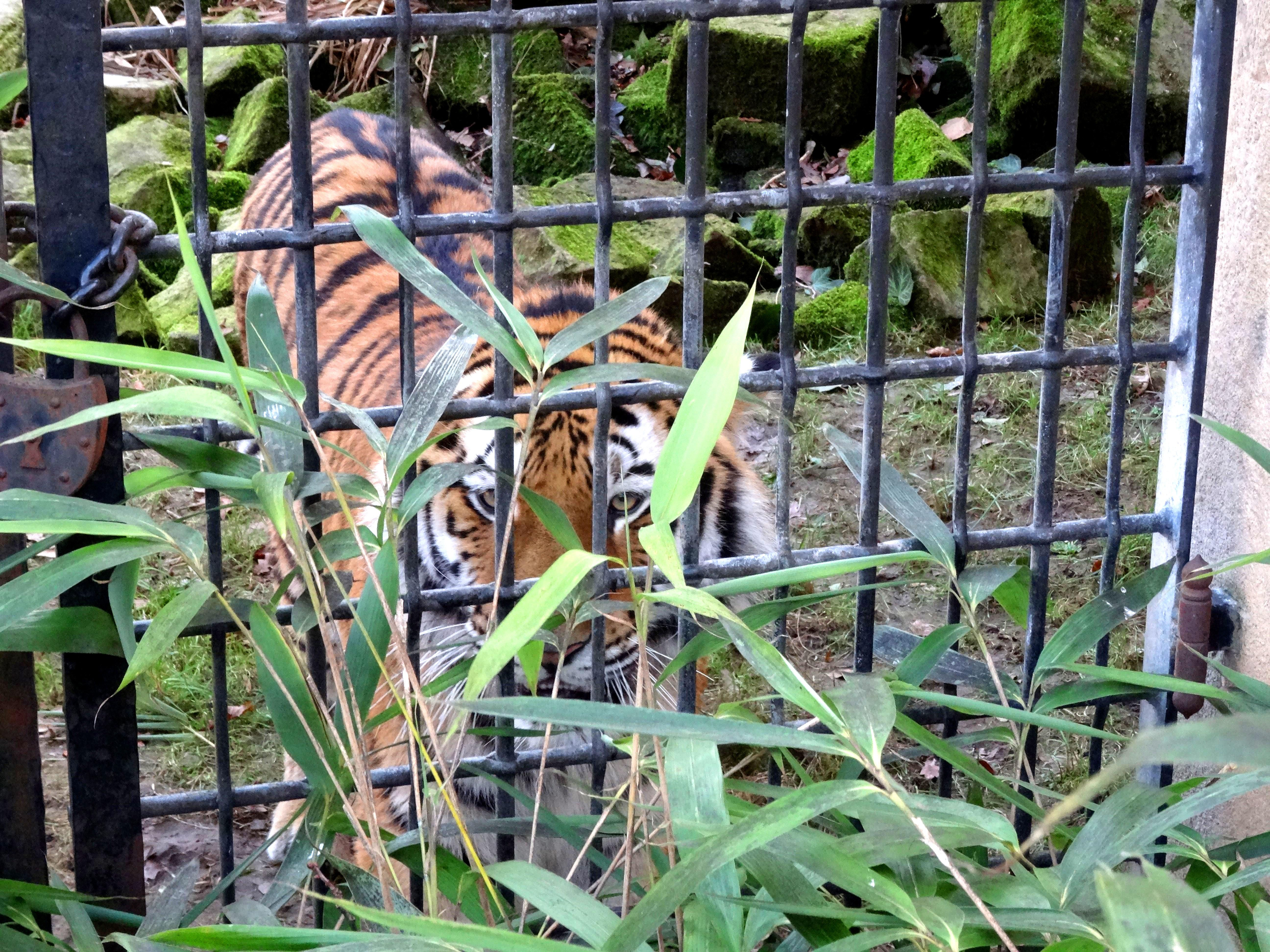 Tiger Aljosha  (6)