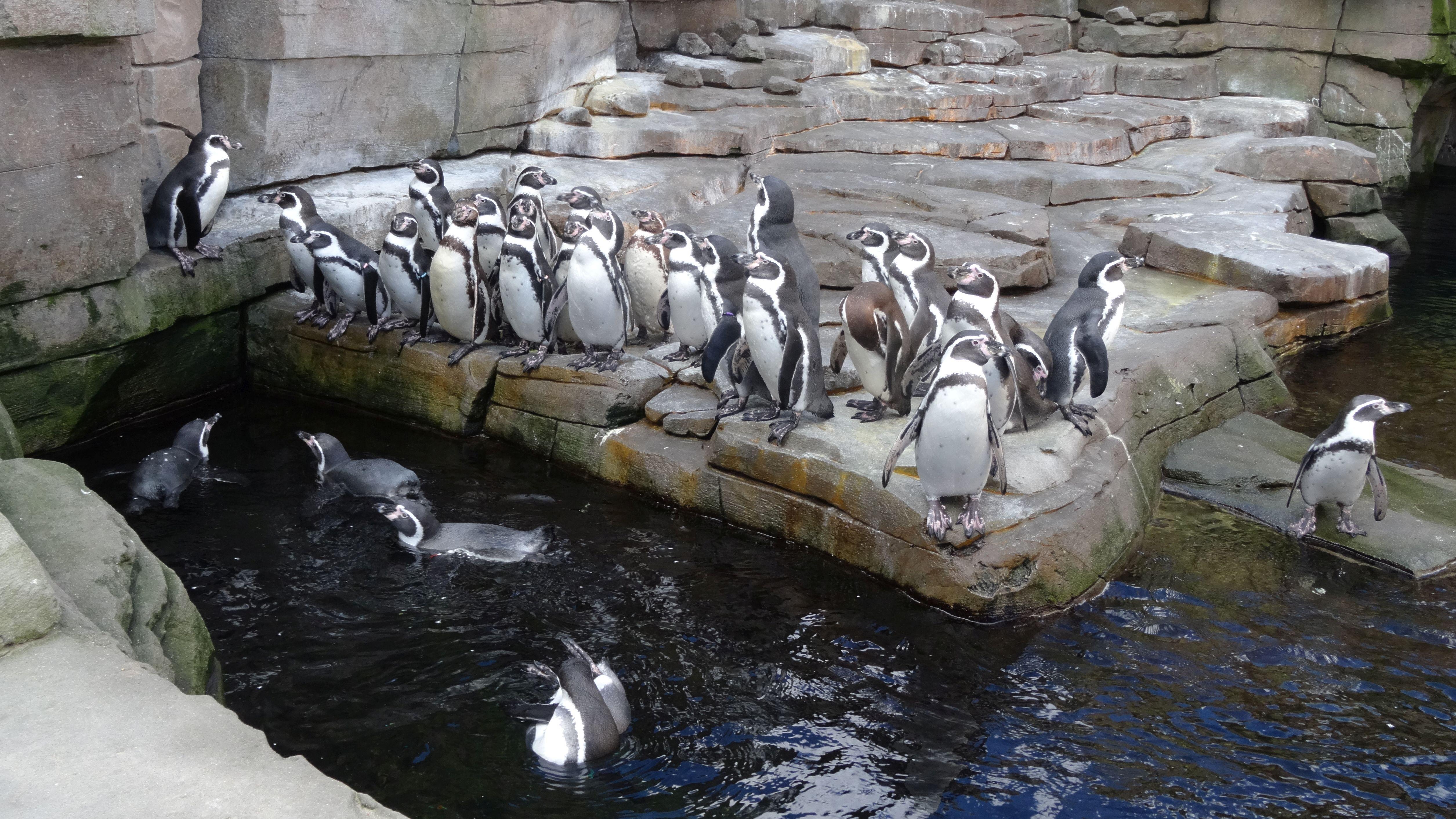 Pinguine  (1)