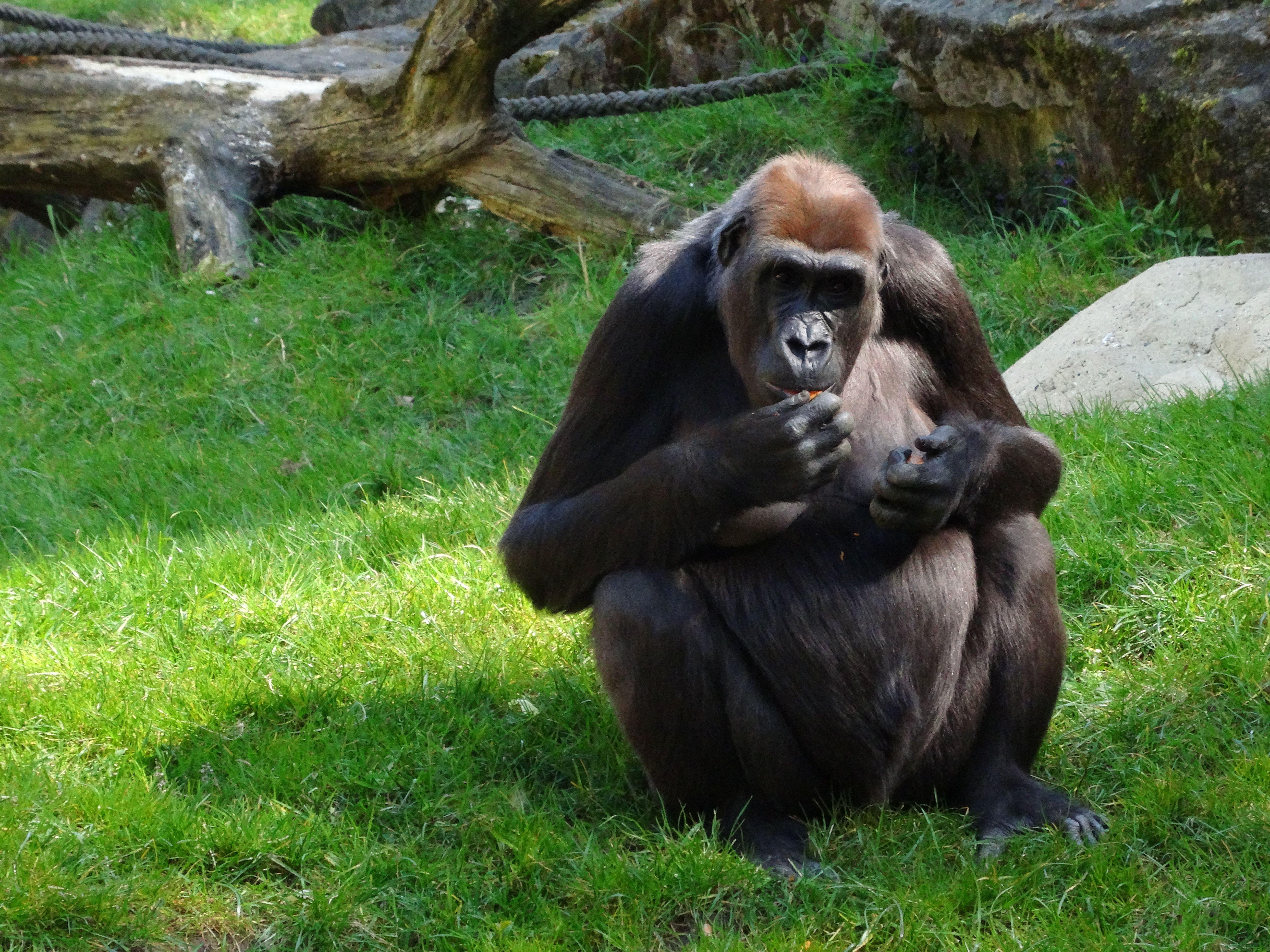 Gorilla (21)