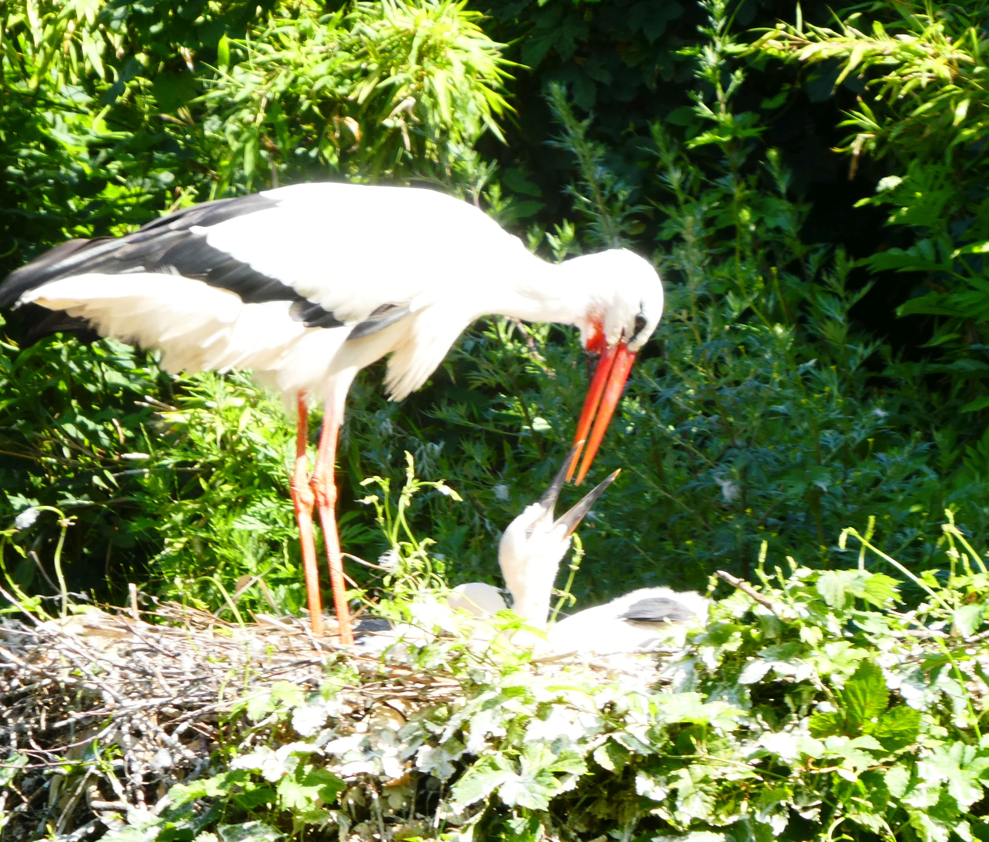 Storch  (2)
