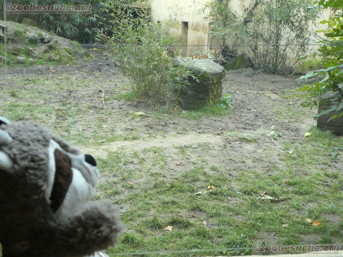 Tiger Jungtier mit Wuschel  (1)